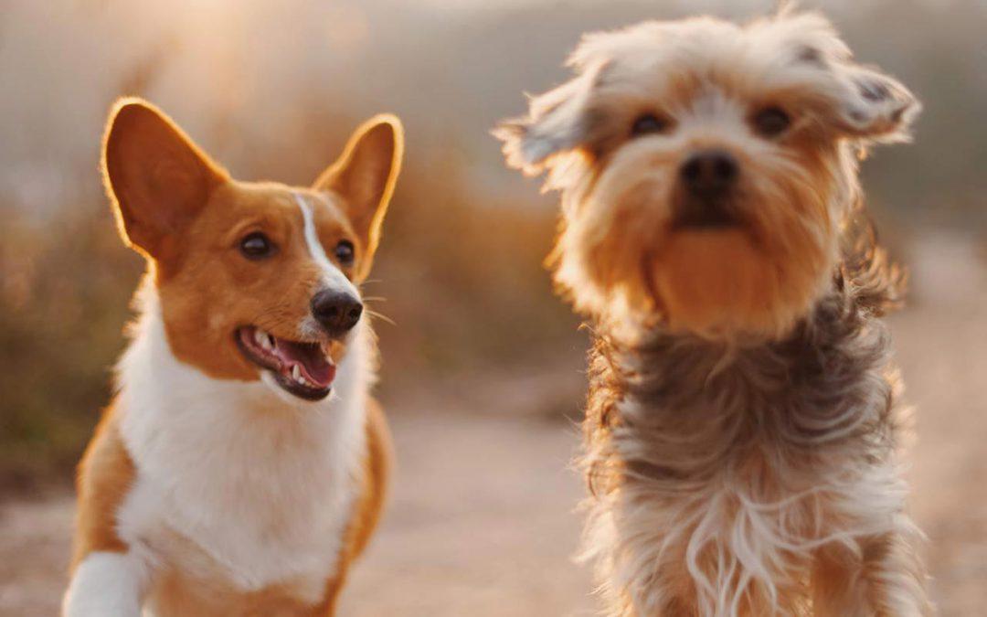 Can I give my dog CBD?